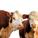 live cattle Futures Options Trading cme